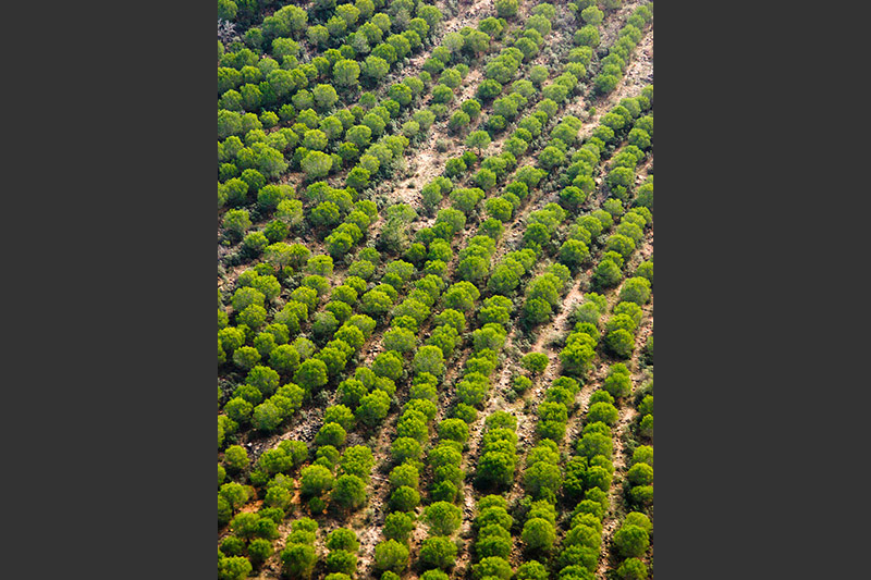 pine reforestation