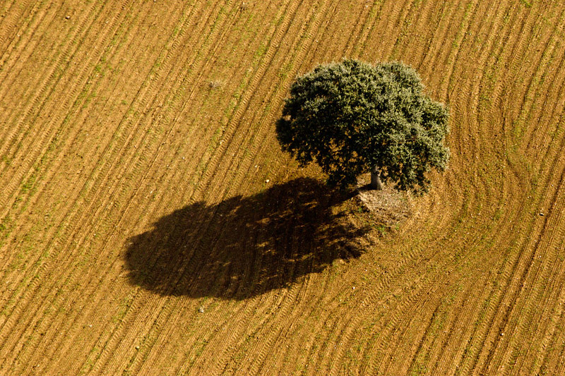 holm oak and shadow